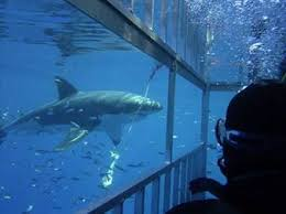 diving with great whites