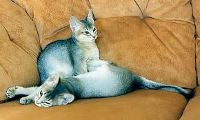 blue abyssinians