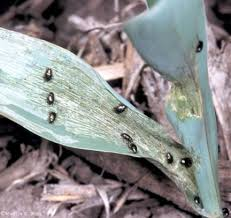 corn flea beetle