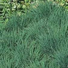blue ornamental grass