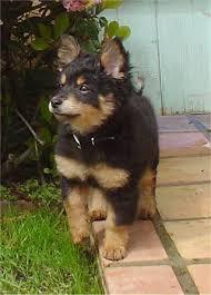 pomeranian cross puppies