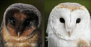 rare owl