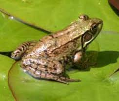 green frogs pictures