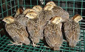 jumbo bobwhite quail