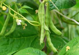 beans plant