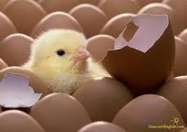 chickens hatch