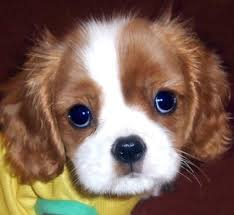 cavalier king charles spaniels pups