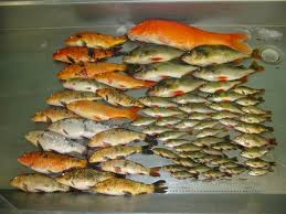 carp goldfish