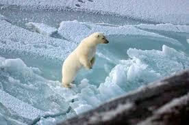 polar bear north pole