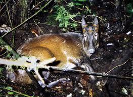 deer species
