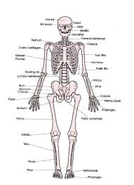 human skeleton anatomy