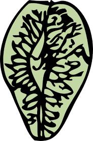 elm seed