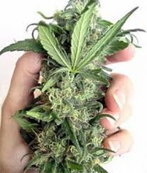 medical hemp