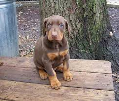doberman puppies pictures
