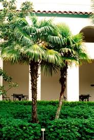 palm trees in pots