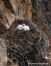 golden eagle nests