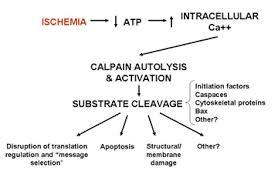 calpain apoptosis