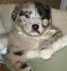 aussie mix puppies