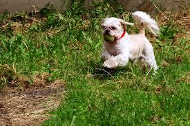 chitzu dogs