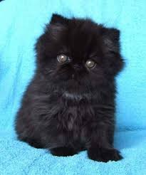 persian cats black