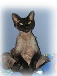 devon rex photos