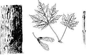 maple tree fruit