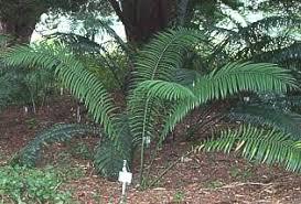 encephalartos villosus