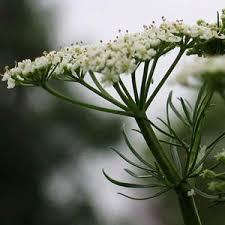 photo fleur de cumin
