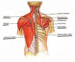 rhomboid major muscle
