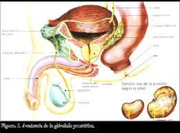 glandulas de cowper