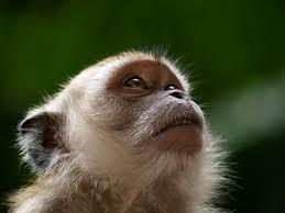 cynomolgus monkey