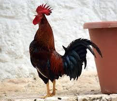 rooster bird