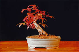 japanese maple tree bonsai
