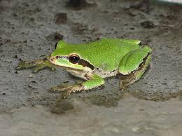 pacific tree frog habitat