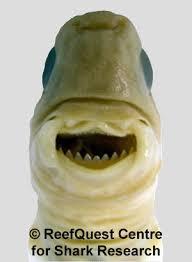 cookiecutter shark