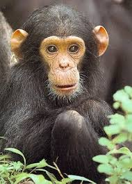 chimpanzee endangered
