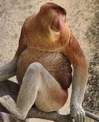 proboscis monkey pictures