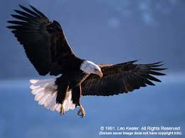 bald eagles picture