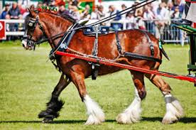 breeds of draft horses