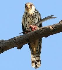 falcon bird picture