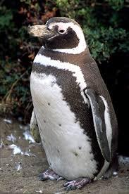 magellanic penguin pictures
