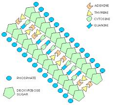 diagram dna