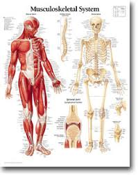 musculoskeletal pictures