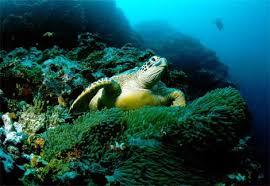 sea green turtles