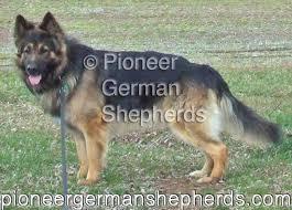king shepherd dogs