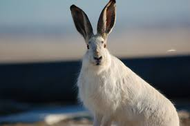 pictures of jack rabbits