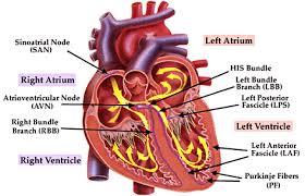 cardiac rhythms