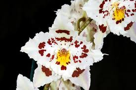 orchid hybrids