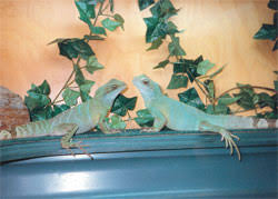 chinese water dragon enclosures