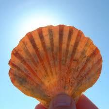 fan shells